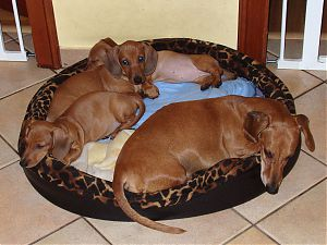 puppies with their father Quax